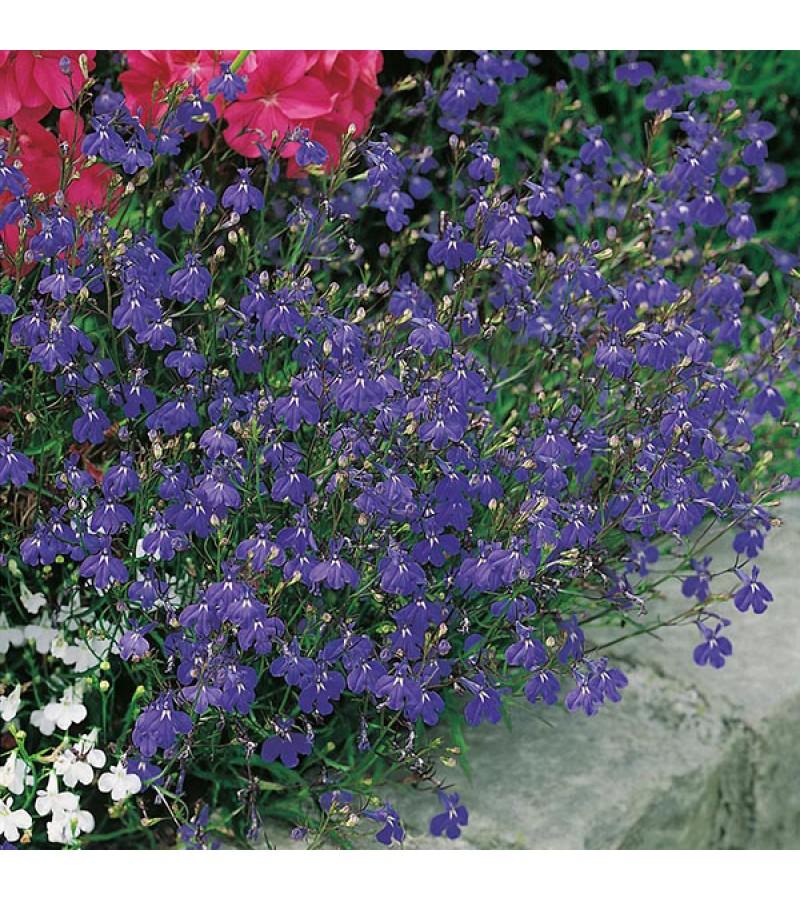 Mr Fothergill's Lobelia Sapphire Trailing Seeds (2000 Pack)