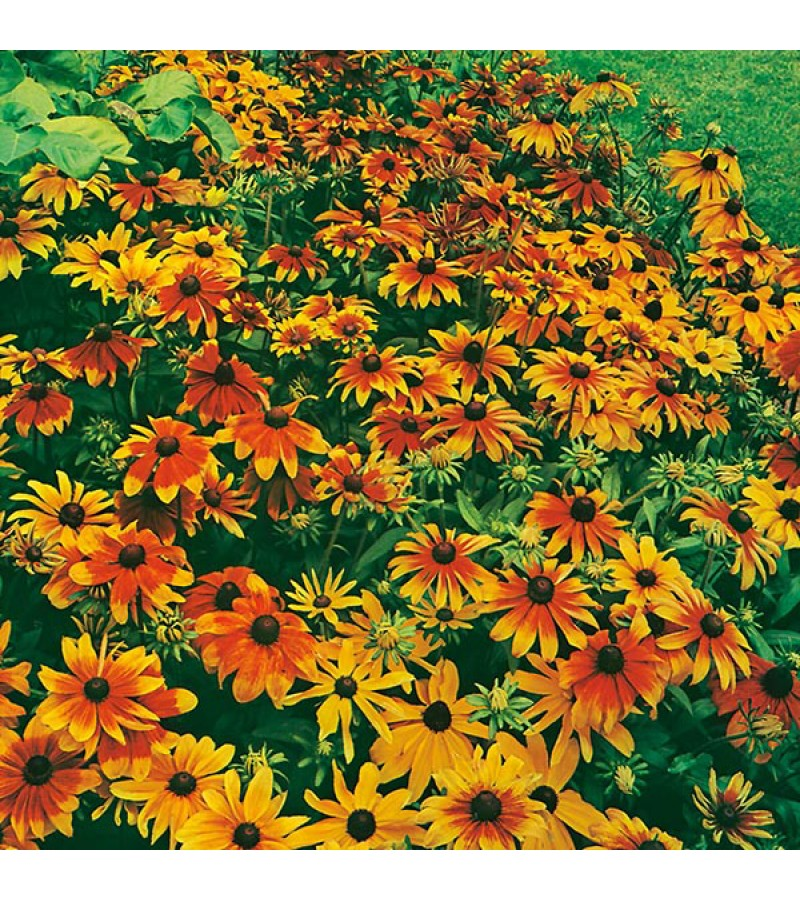 Mr Fothergill's Rudbeckia Rustic Dwarf Mixed Seeds (500 Pack)