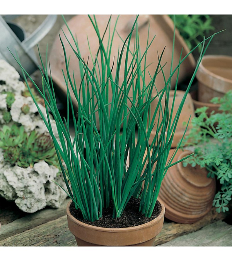 Mr Fothergill's Chive Seeds (750 Pack)