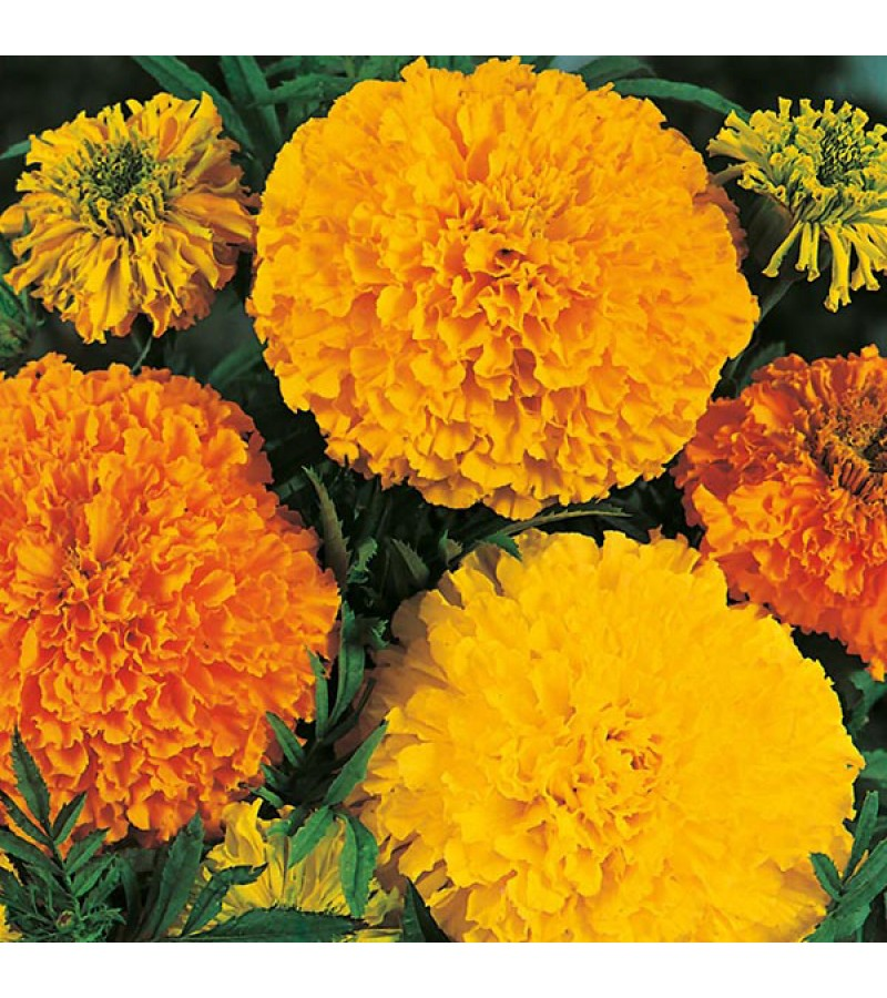 Mr Fothergill's Marigold (African) Crackerjack Mixed Seeds