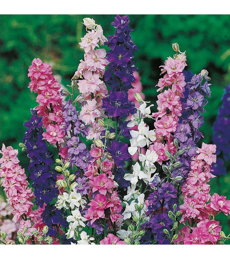 Mr Fothergill's Larkspur Giant Imperial Mixed Seeds (300 Pack)
