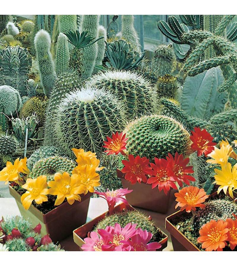 Mr Fothergill's Cactus Flowers of the Desert