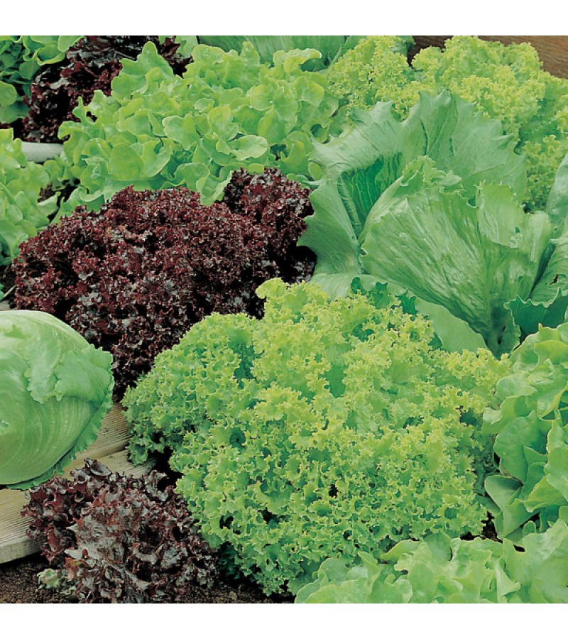 Mr Fothergill's Lettuce Headed Mixed Seeds (1000 Pack)