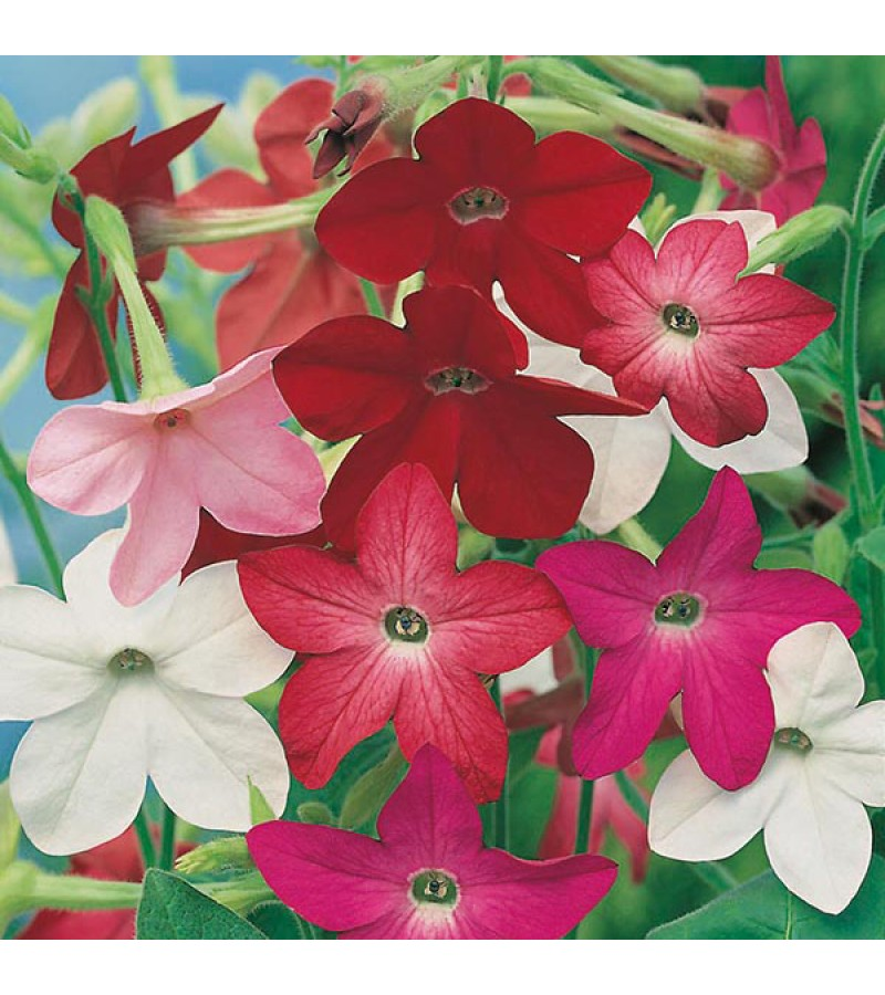 Mr Fothergill's Nicotiana Sensation Mixed Seeds (2000 Pack)