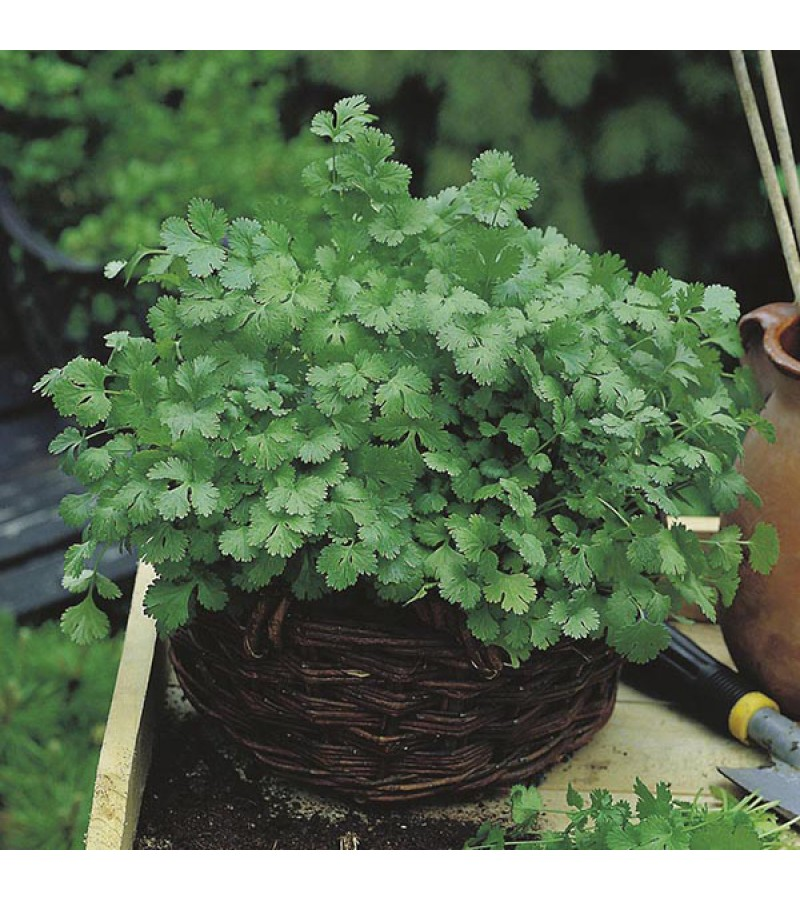 Mr Fothergill's Coriander Cilantro for Leaf (Organic) Seeds (150 Pack)