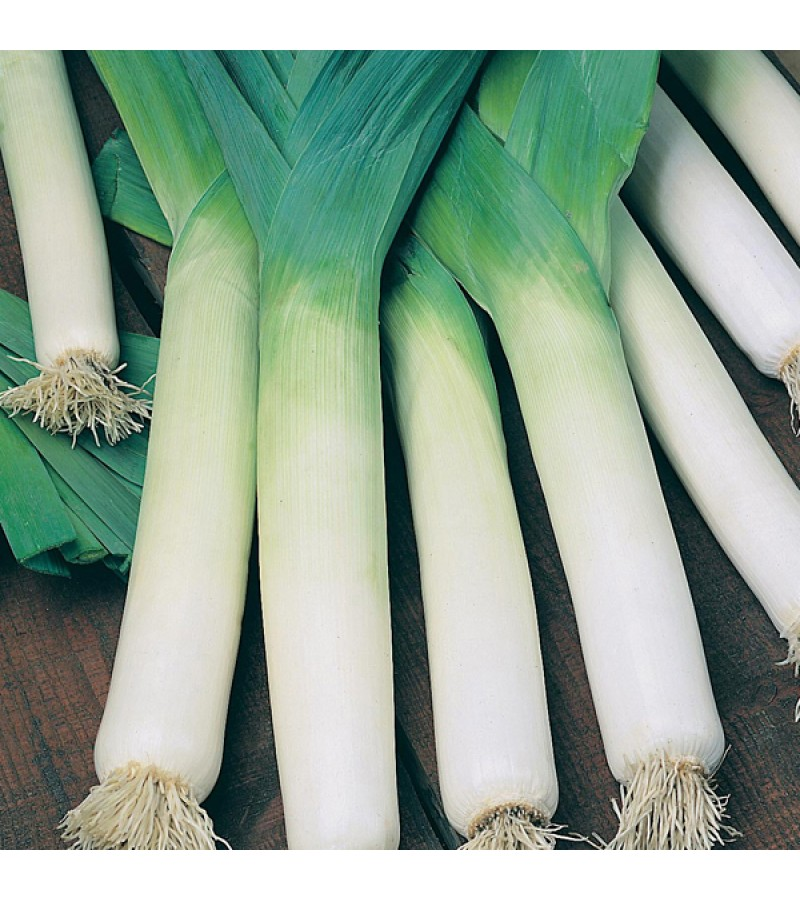 Mr Fothergill's Leek Autumn Mammoth 2 - Snowstar Seeds (150 Pack)