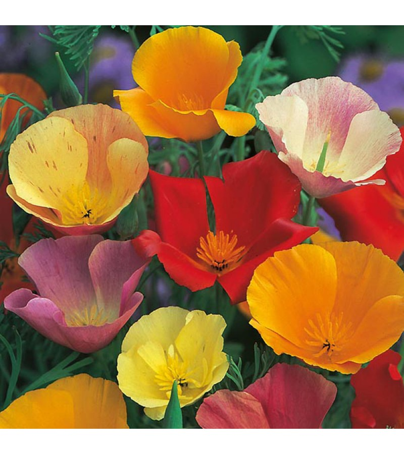 Mr Fothergill's Californian Poppy Single Mixed Seeds (500 Pack)