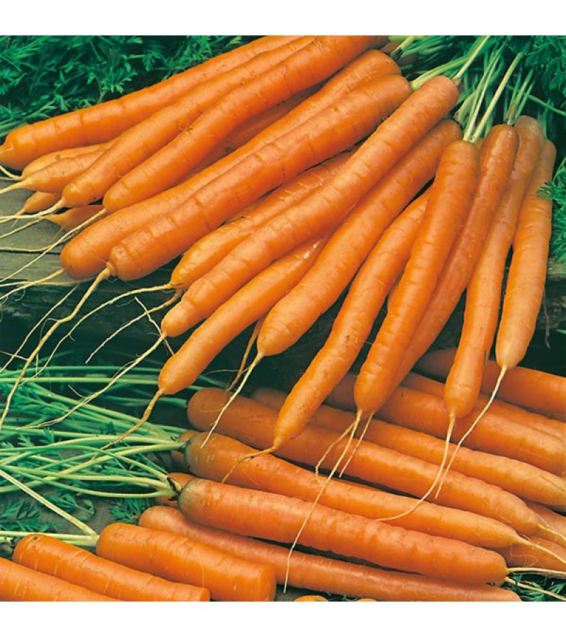 Mr Fothergill's Carrot Amsterdam Forcing 2 - Solo Seeds (1500 Pack)