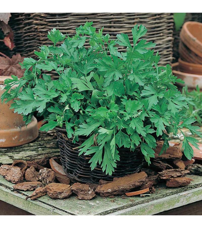 Mr Fothergill's Parsley Plain Leaved 2 Seeds (1000 Pack)