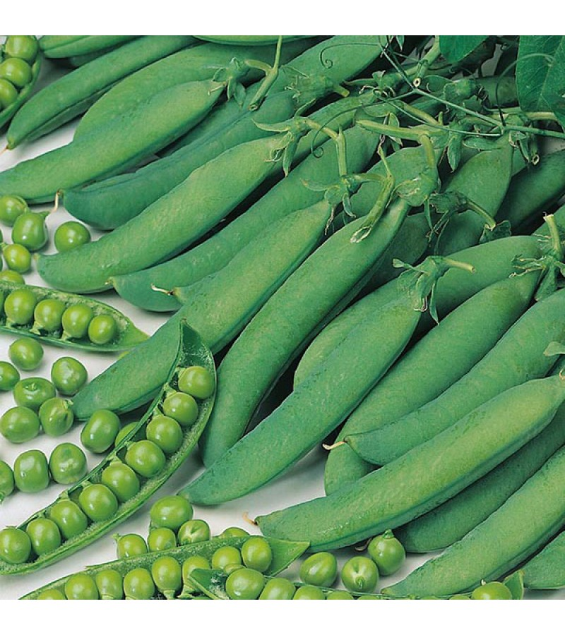 Mr Fothergill's Pea Hurst Green Shaft Seeds (400 Pack)