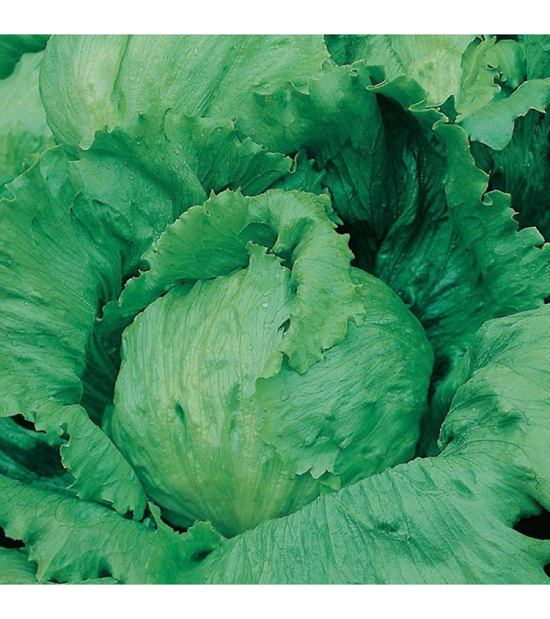 Mr Fothergill's Lettuce Saladin Seeds (750 Pack)