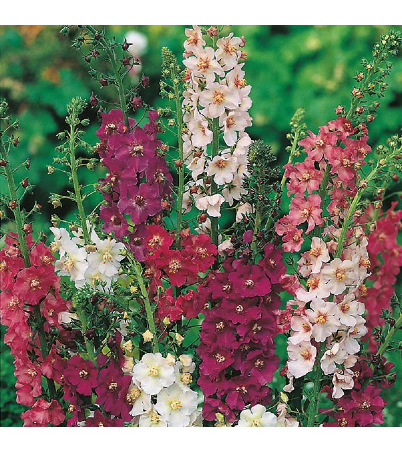 Mr Fothergill's Verbascum Mixed Seeds (500 Pack)