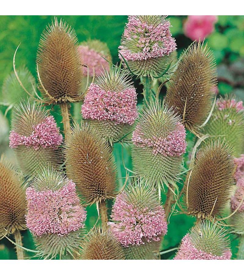 Mr Fothergill's Teasel Seeds (150 Pack)