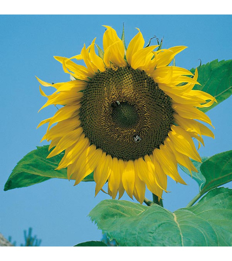 Mr Fothergill's Sunflower Giant Single Seeds (75 Pack)