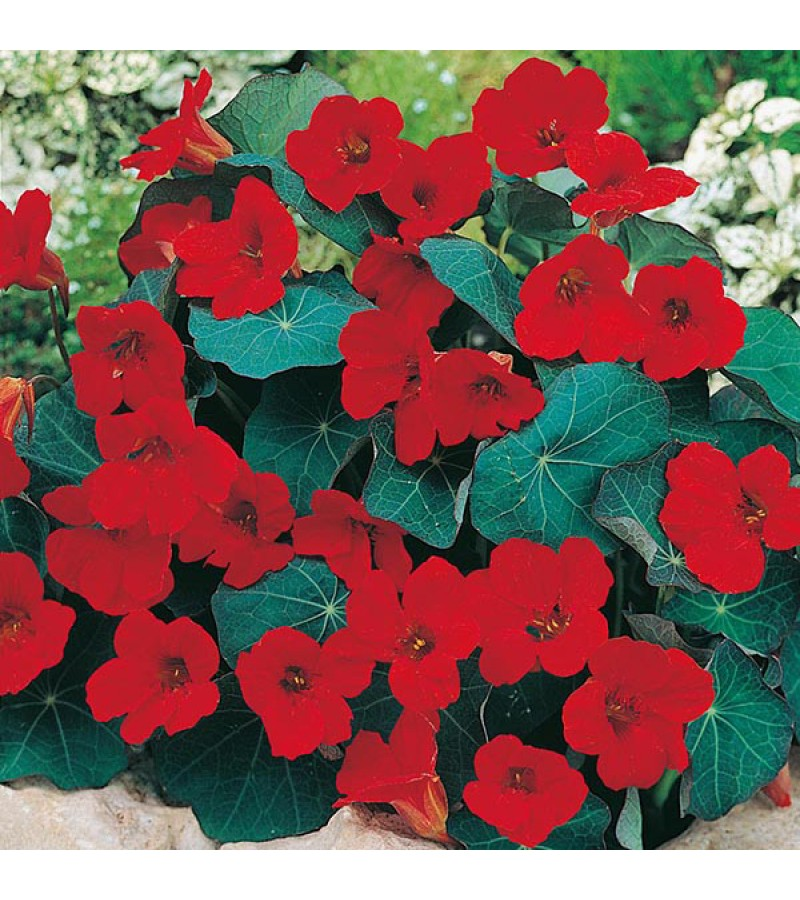 Mr Fothergill's Nasturtium Empress of India Seeds (25 Pack)