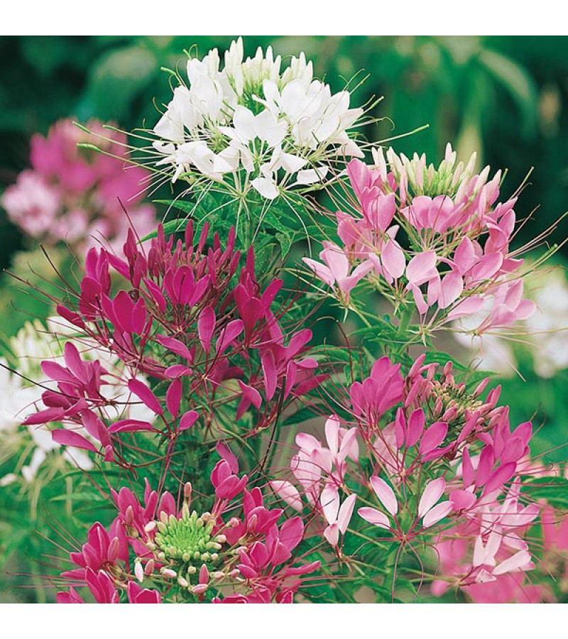 Mr Fothergill's Cleome Colour Fountain Seeds (250 Pack)