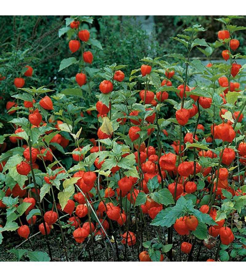 Mr Fothergill's Chinese Lanterns Seeds (150 Pack)