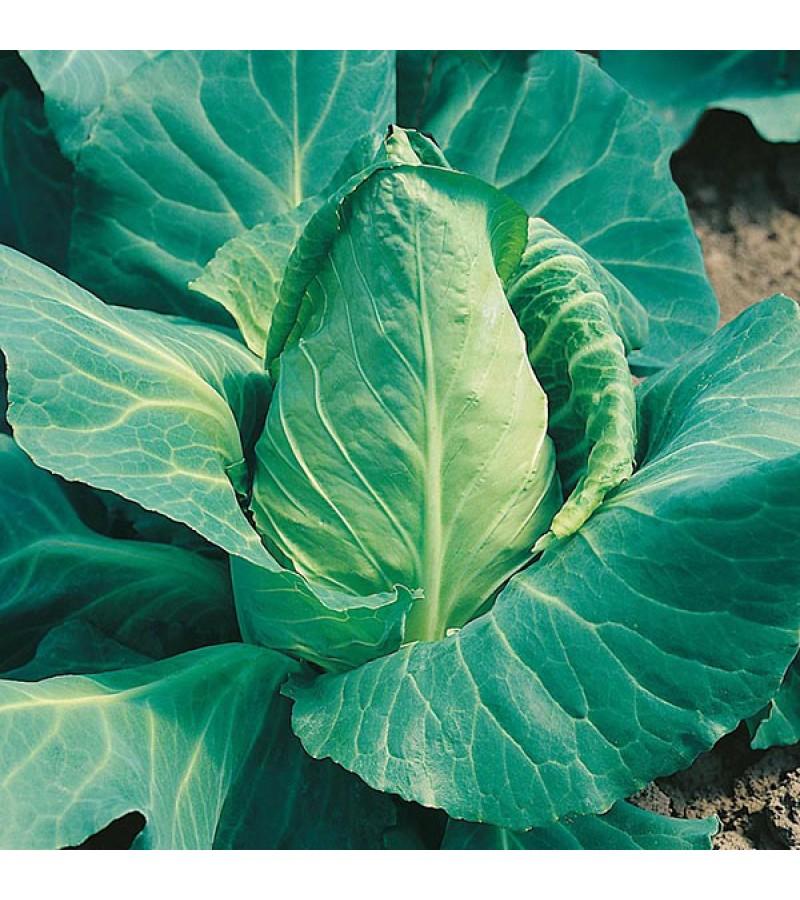 Mr Fothergill's Cabbage Offenham 2 - Flower of Spring Seeds (500 Pack)