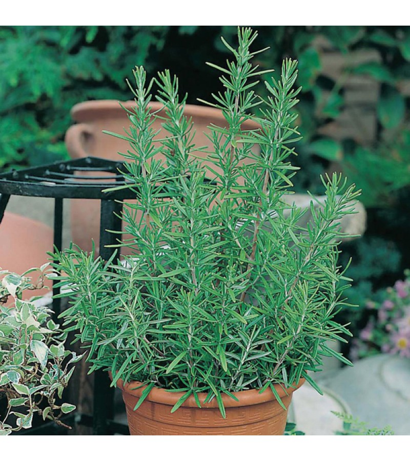Mr Fothergill's Rosemary Seeds (75 Pack)