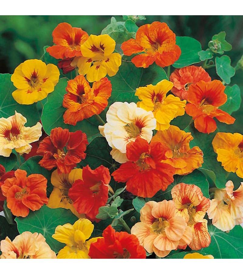 Mr Fothergill's Nasturtium Jewel Mixed Seeds (35 Pack)