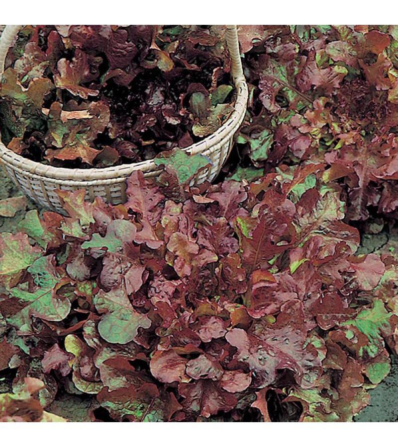 Mr Fothergill's Lettuce Salad Bowl Red (1250 Pack)
