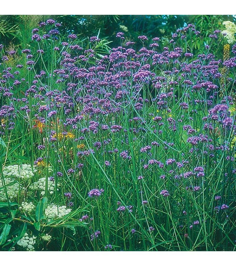 Mr Fothergill's Verbena Bonariensis Seeds (200 Pack)