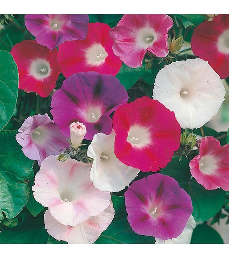 Mr Fothergill's Morning Glory Choice Mixed Seeds (50 Pack)