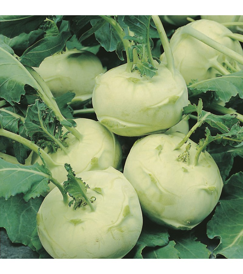 Mr Fothergill's Kohl Rabi Olivia Seeds (50 Pack)