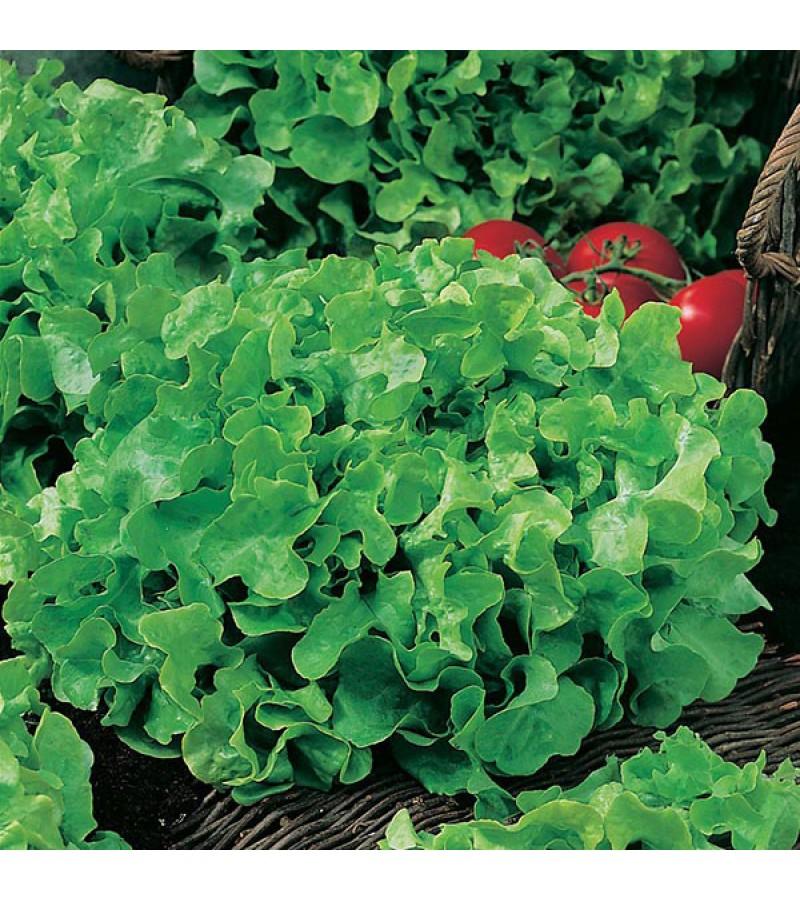Mr Fothergill's Lettuce Salad Bowl (1250 Pack)