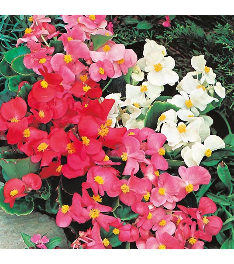 Mr Fothergill's Begonia Summer Rainbow F2 (2000 Pack)
