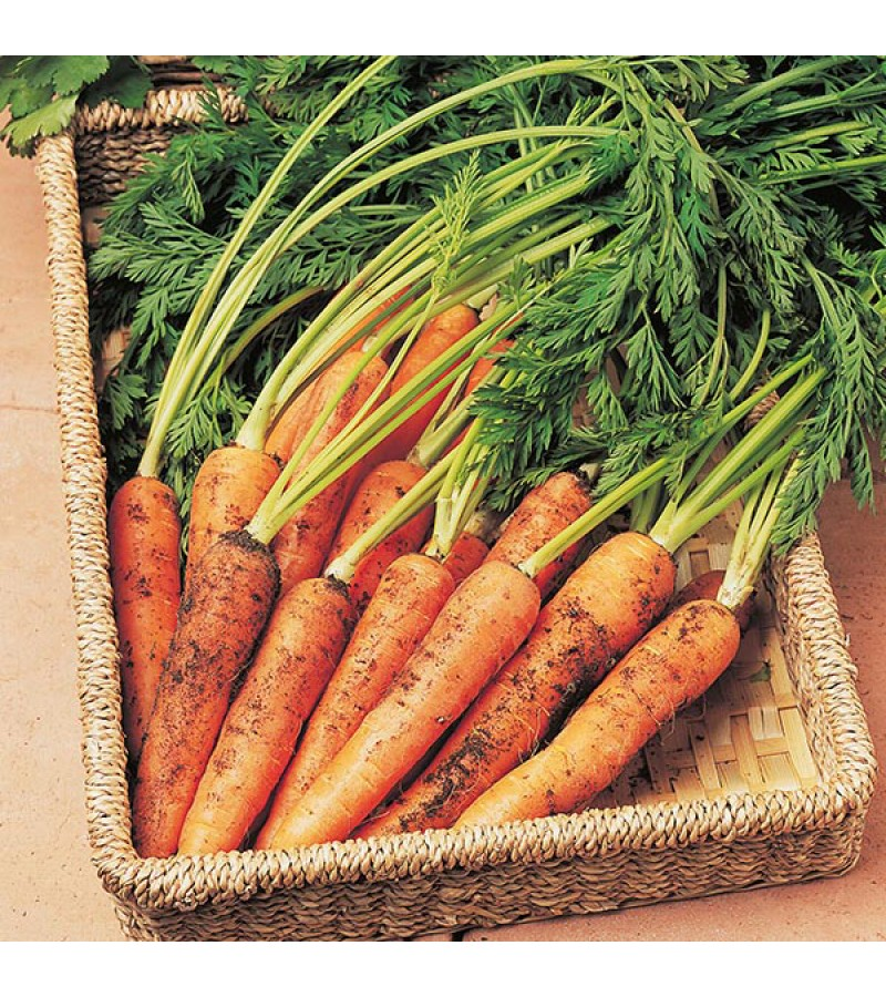 Mr Fothergill's Carrot Resistafly F1 Seeds (400 Pack)