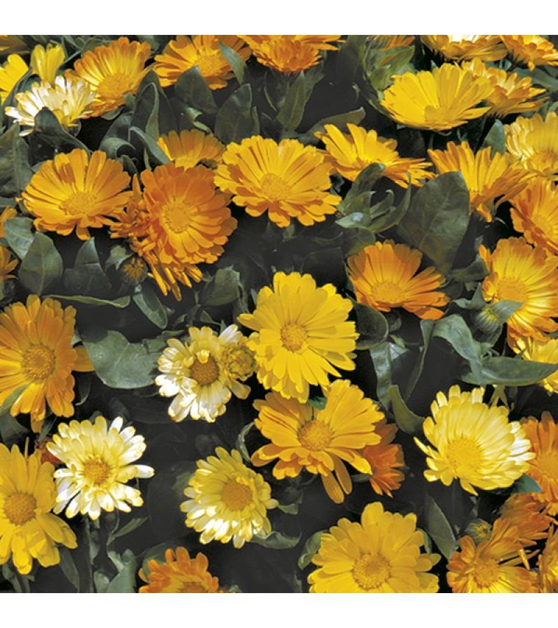 Mr Fothergill's Calendula Daisy Mixed