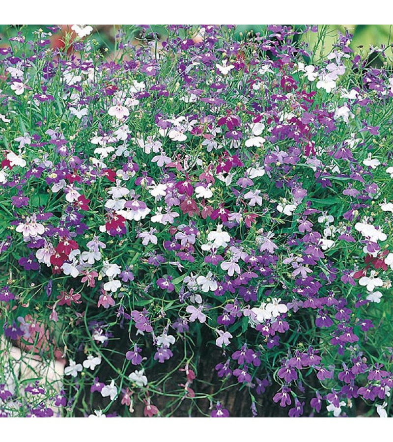 Mr Fothergill's Lobelia Cascade Mixed Seeds (1500 Pack)