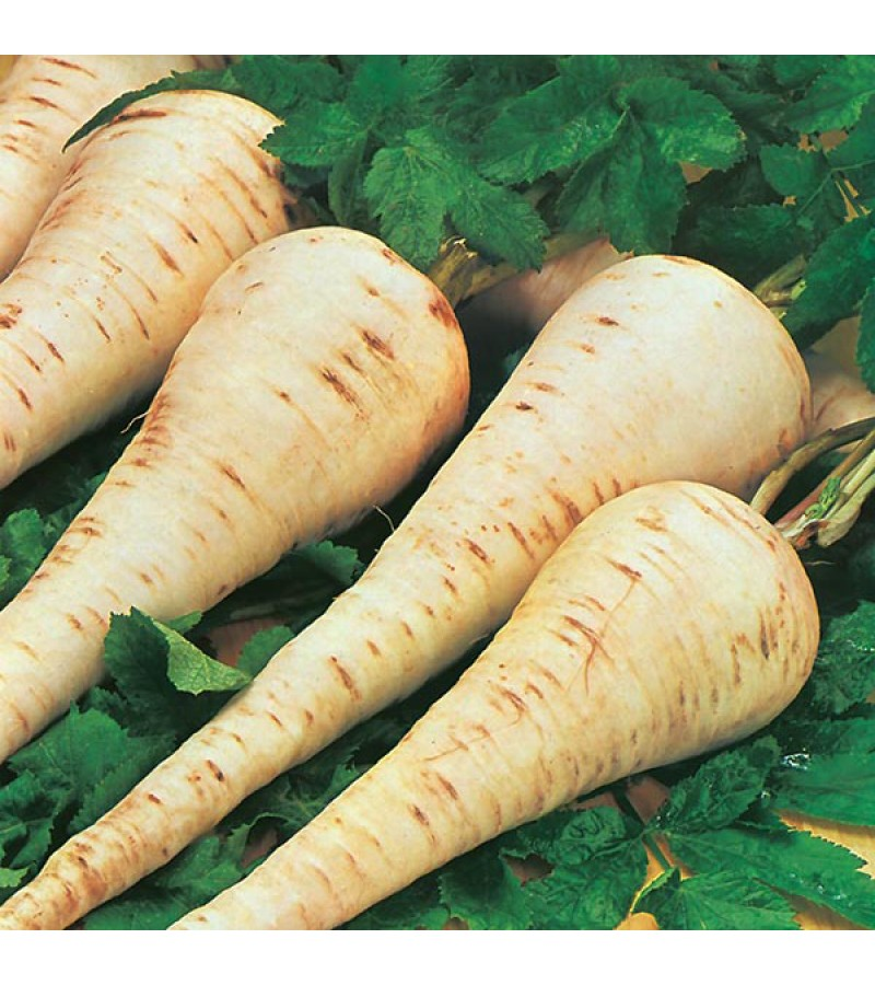 Mr Fothergill's Parsnip Gladiator F1 Seeds (200 Pack)