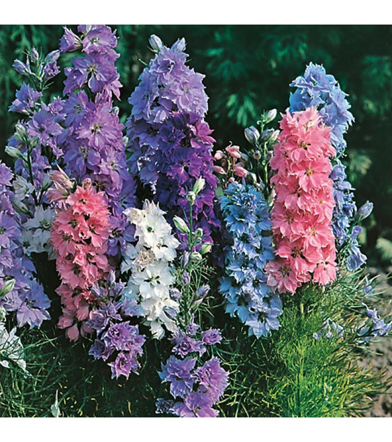 Mr Fothergill's Larkspur Hyacinth Dwarf Mixed Seeds (300 Pack)