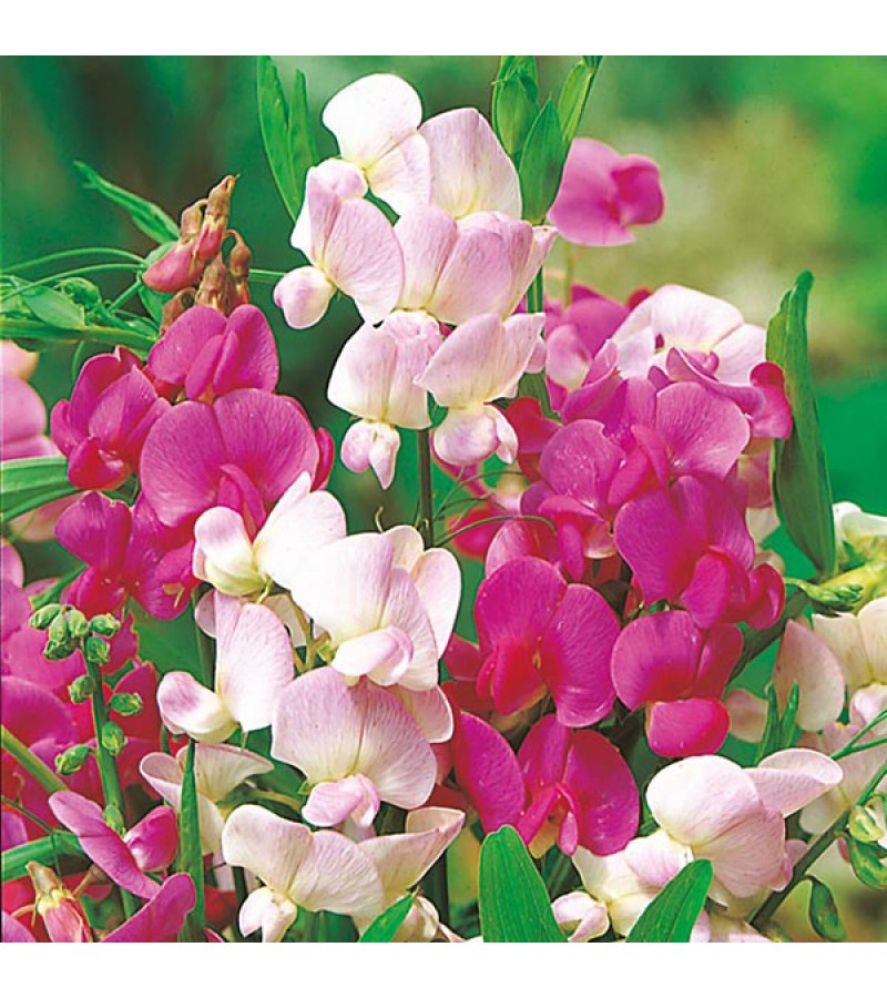 Mr Fothergill's Sweet Pea Everlasting Mixed Seeds (20 Pack)