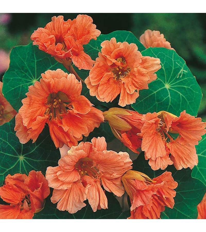 Mr Fothergill's Nasturtium Salmon Baby Seeds (25 Pack)