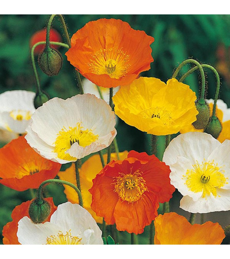 Mr Fothergill's Poppy Iceland Mixed Seeds (2000 Pack)