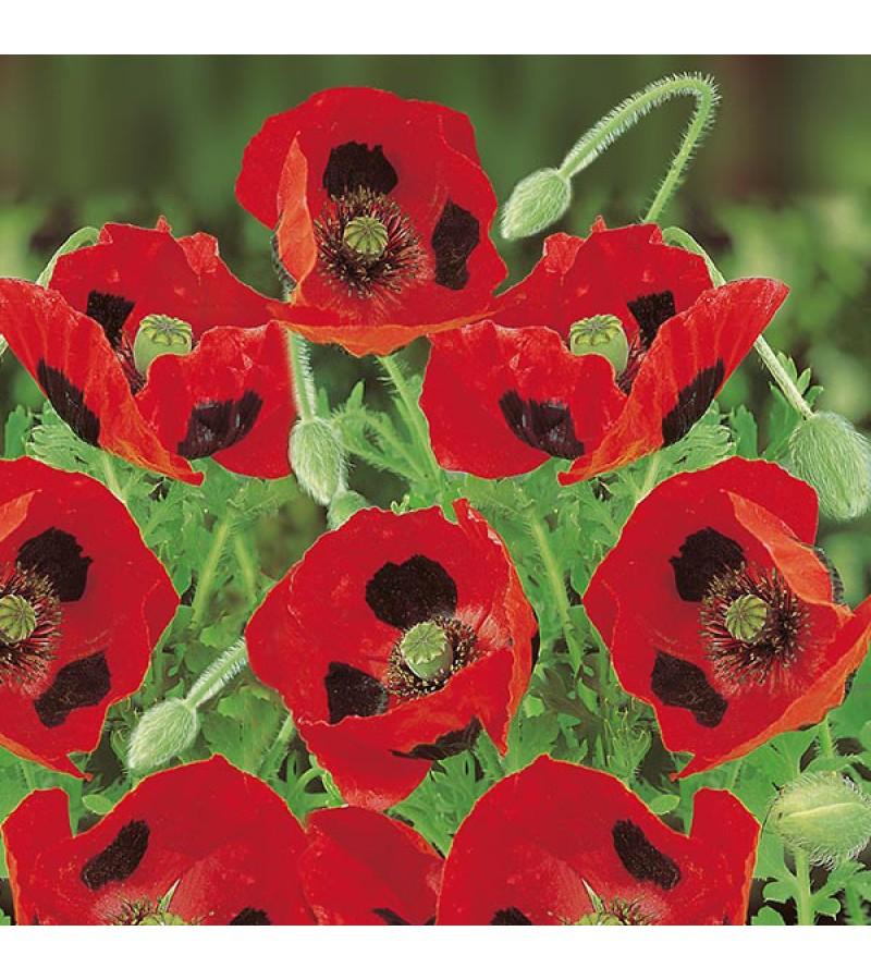 Mr Fothergill's Poppy Ladybird Seeds (1000 Pack)