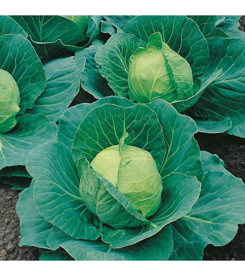 Mr Fothergill's Cabbage Golden Acre / Primo II Seeds (500 Pack)
