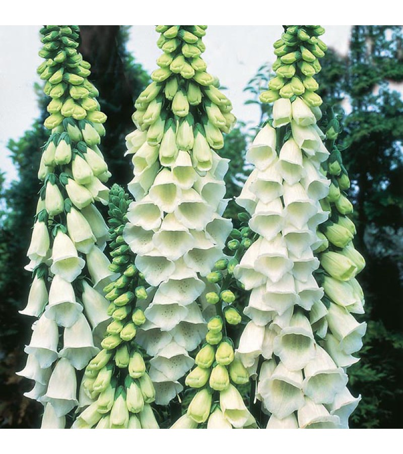 Mr Fothergill's Foxglove Alba Seeds (1000 Pack)