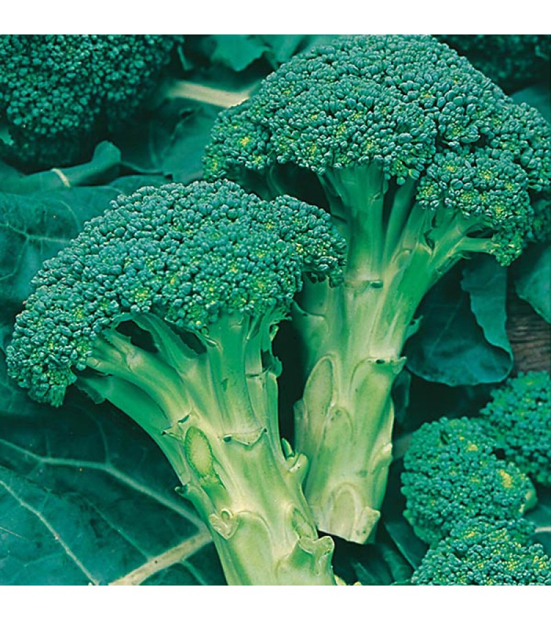 Mr Fothergill's Broccoli (Calabrese) Green Calabrese Seeds (250 Pack)