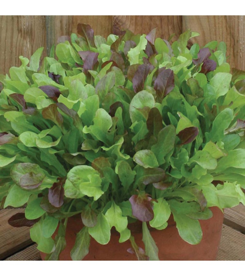 Mr Fothergill's Lettuce Mixed Salad Leaves (1200 Pack)