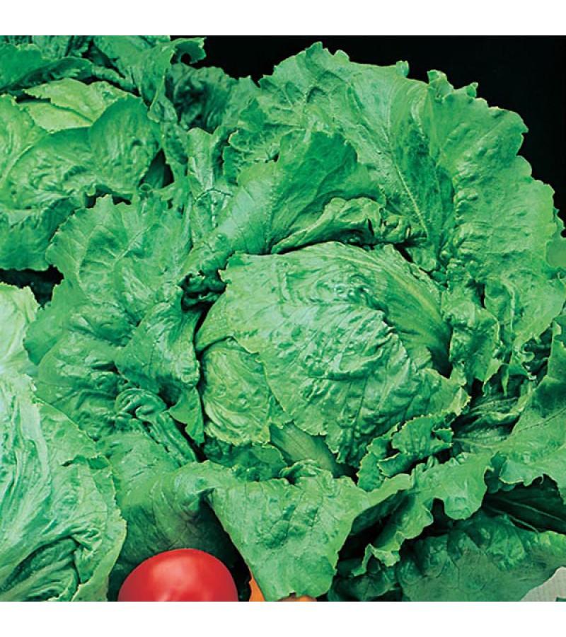 Mr Fothergill's Lettuce Webbs Wonderful (1250 Pack)