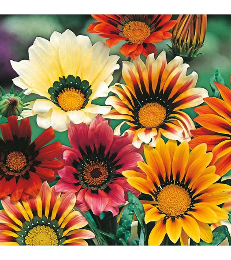 Mr Fothergill's Gazania Sunshine Mixed Seeds (25 Pack)