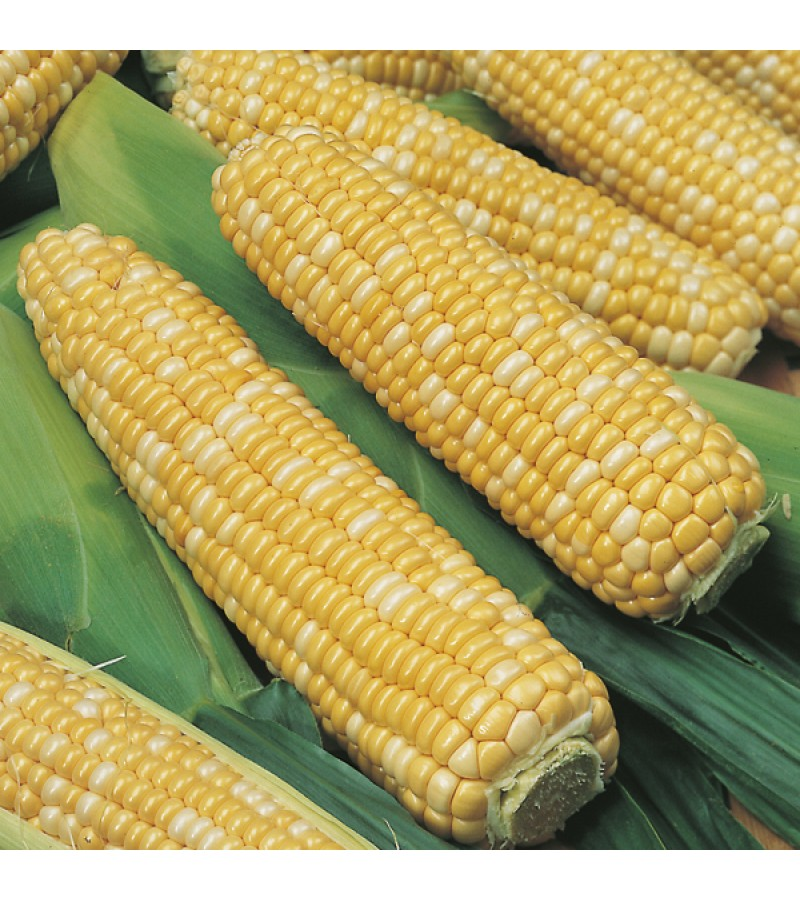 Mr Fothergill's Sweet Corn Ambrosia F1 Seeds (35 Pack)