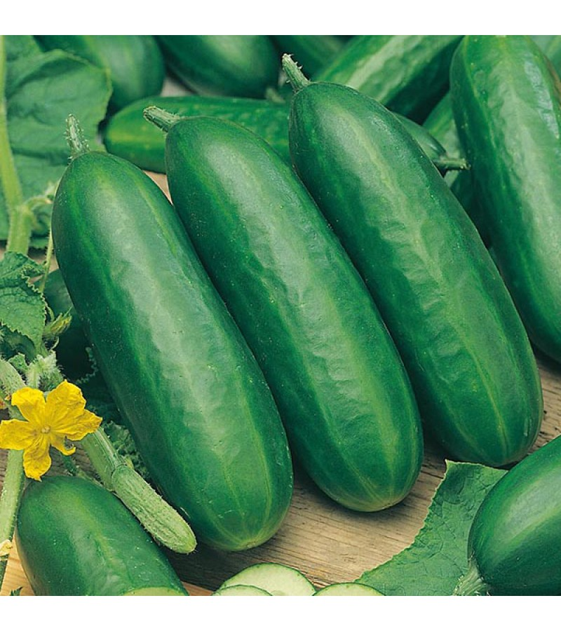 Mr Fothergill's Cucumber Socrates F1 Seeds (5 Pack)