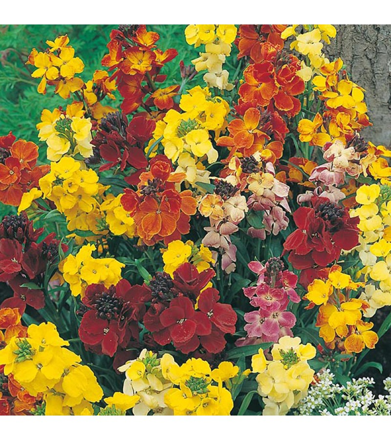 Mr Fothergill's Wallflower Choice Mixed Seeds (500 Pack)