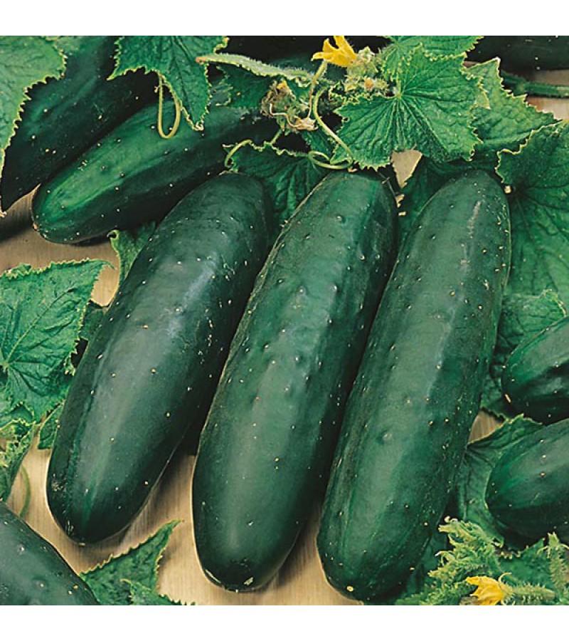 Mr Fothergill's Cucumber Marketmore Seeds (25 Pack)