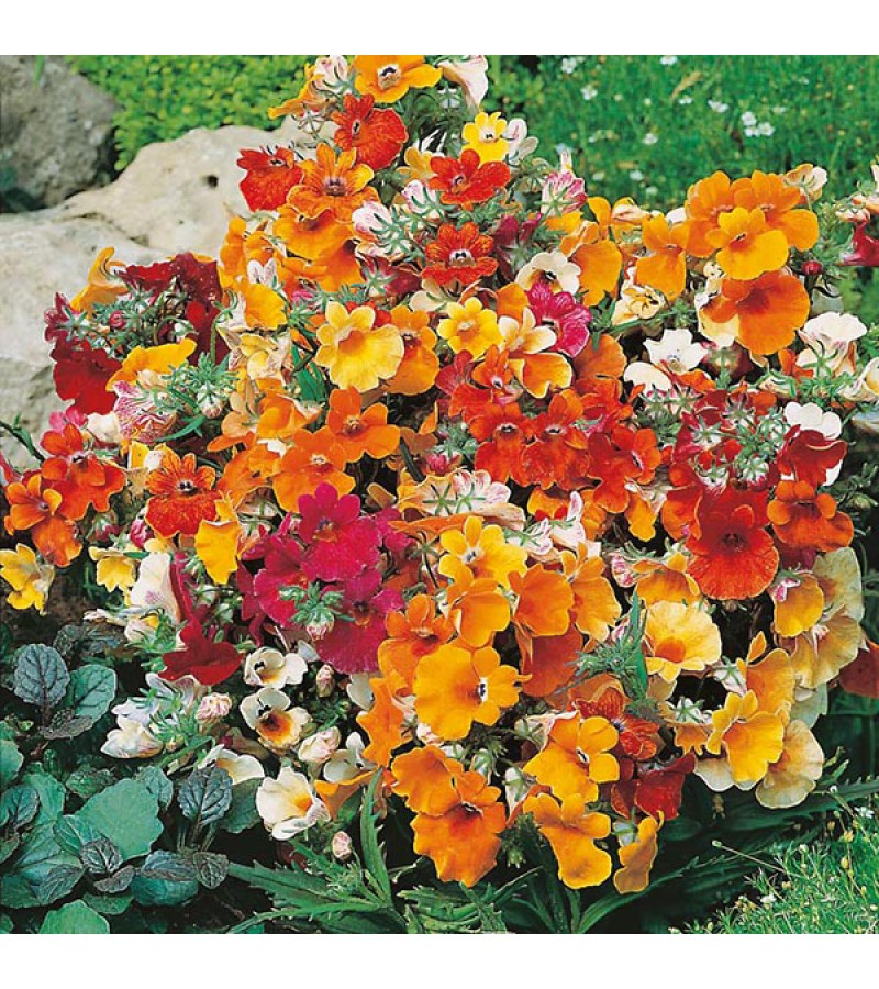 Mr Fothergill's Nemesia Carnival Mixed Seeds (500 Pack)
